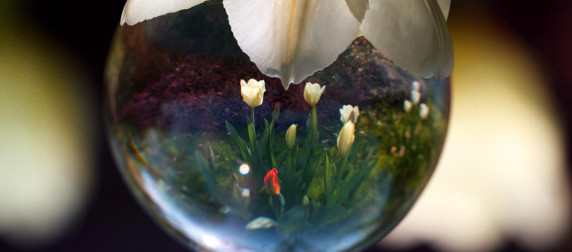spherical droplet framing tulips