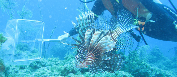 lionfish swimming into a scuba diver's handheld net