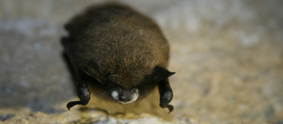 little brown bat with White-Nose Syndrome