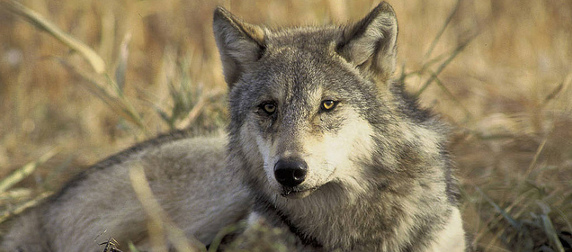 gray wolf lying among dry, tall grass