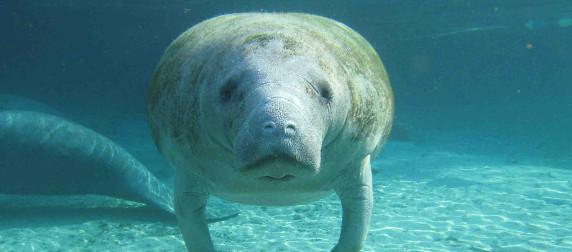 Florida manatee viewed head-on underwater