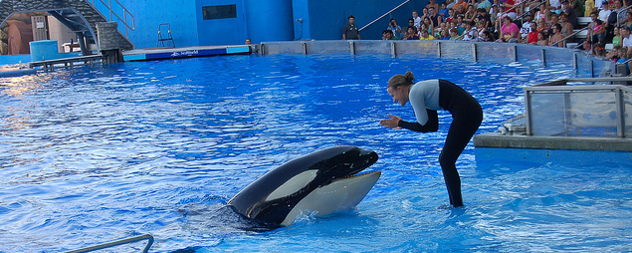 SeaWorld trainer interacting with an orca at a park show