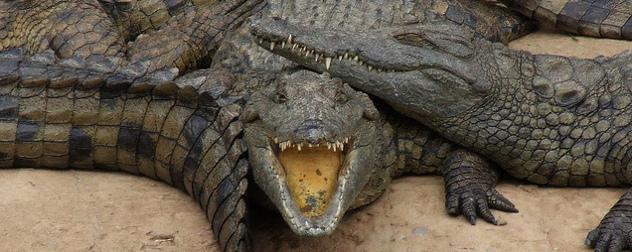 Nile crocodiles basking in a pile