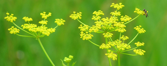 detailed view of wild parsnip flowers and a bee