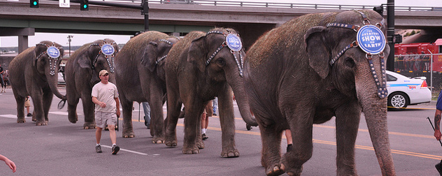 Elephants with headdresses that read 'The Greatest Show on Earth' walk in line on a city street