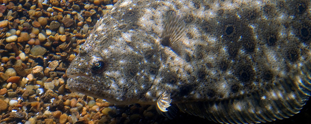 close view of a summer flounder in an aquarium setting