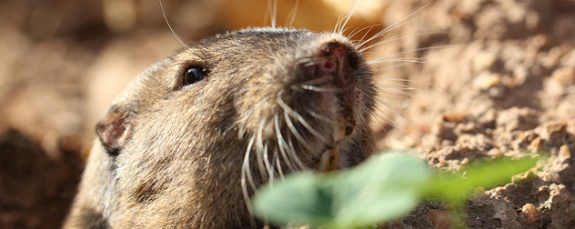 close view of a gopher