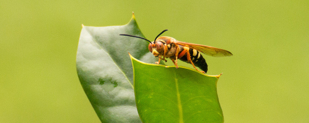 cicada killer wasp on a leaf