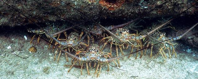 Floridan lobsters
