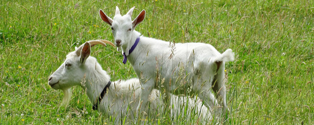 two white goats in a grassy field