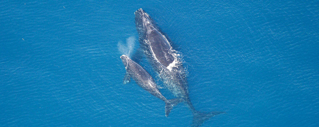 North Atlantic right whale mother and calf, photographed from above