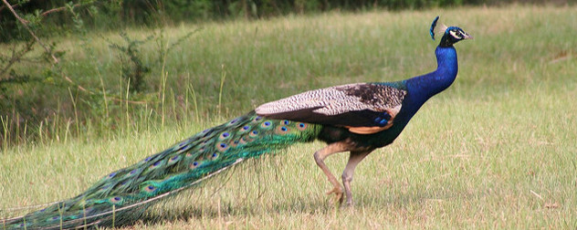 peacock, viewed in profile