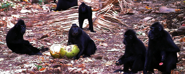 group of crested macaques in the wild