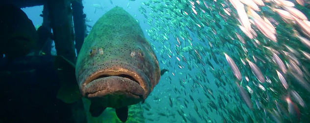 goliath grouper viewed head-on