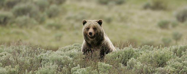 grizzly bear seated among brush