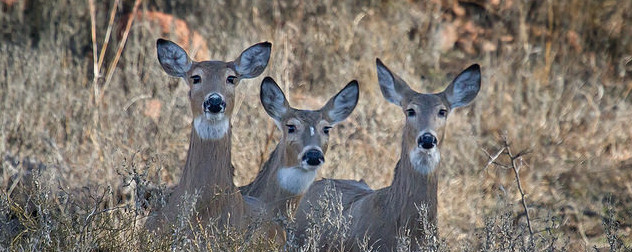 three white-tailed deer does in a  field.