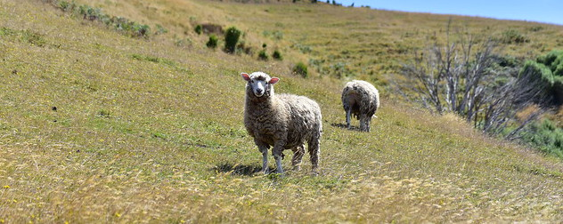 sheep in Australia.