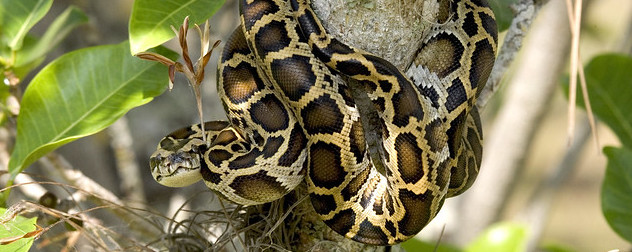 Burmese python in a tree.