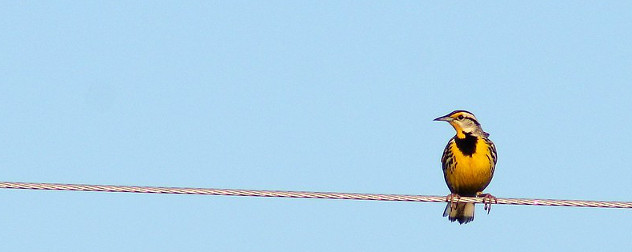 Eastern Meadowlark on a wire.