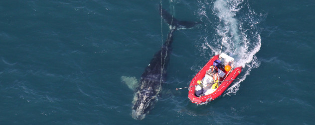 North Atlantic right whale viewed from above, with scientists in a boat on the surface of the water.