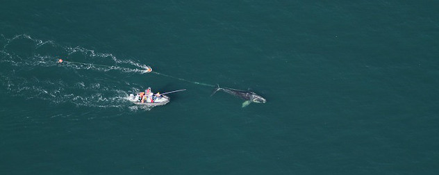 A team of biologists assist in disentangling a North Atlantic right whale off Daytona Beach, Florida.