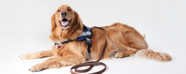 golden retriever wearing a service animal harness and leash.