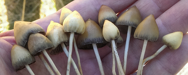 'Liberty cap' psychedelic mushrooms held in a hand.